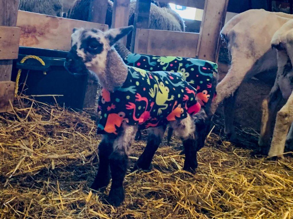 Lamb in Frog Printed Pajamas