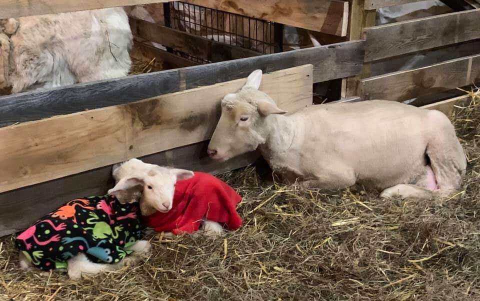 Polypay Ewe and Her Lamb Babies