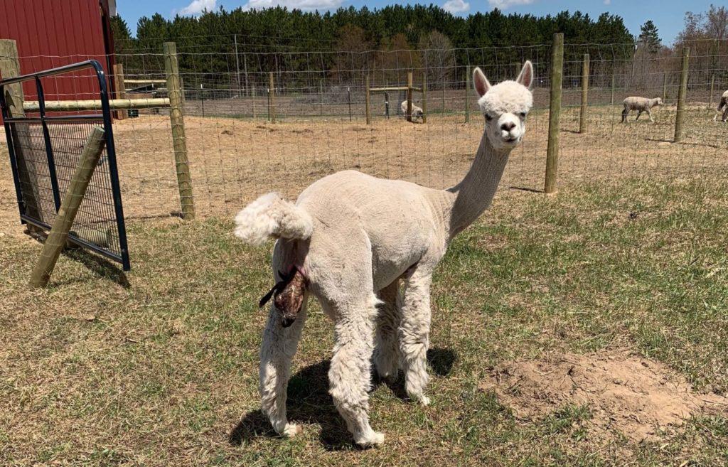 Ariana and the Difficult Alpaca Birth