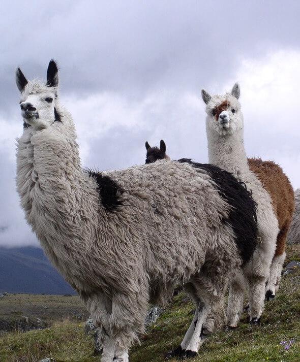 Three Llamas Outside