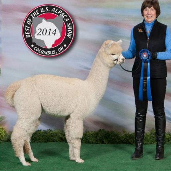 Hobby Horse Peaches N Cream Show Win