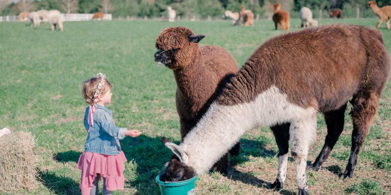 Alpaca Llama and Little Girl