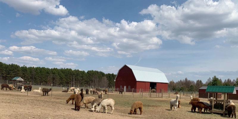 Cotton Creek Farms Alpaca Herd