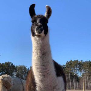 Lucy the Llama