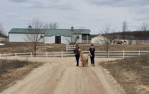 Alpaca Walks on the Farm