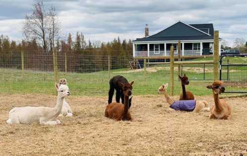 Alpacas Just Chilling