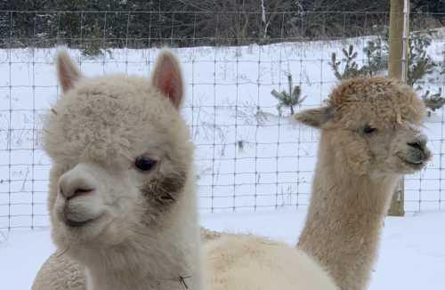 Ariana and Faith - Our White and Fawn Alpacas