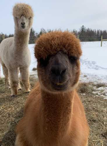 Faith and Her Alpaca Photo Bomb