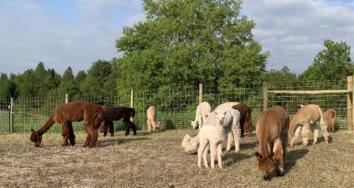Happy Alpacas Enjoying a Warm Summer Day