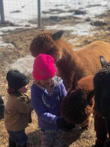 Little Children Love Feeding Alpacas