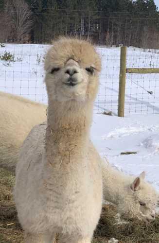 Our Adopted Alpaca the Adorable Little Faith
