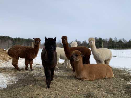 Our Alpaca Ladies Enjoying a Little Warm Weather