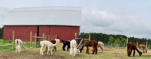 Panorama of Alpacas