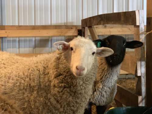 Sheep Mama 848