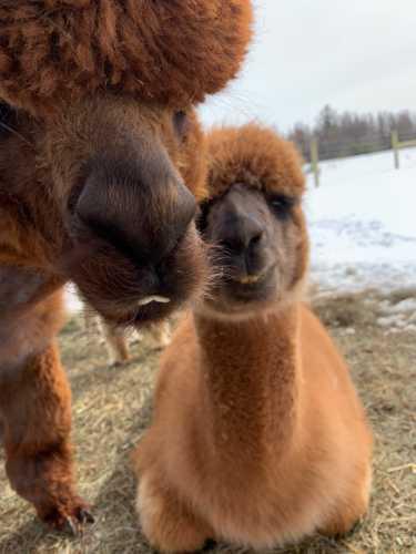 Sienna and Her Alpaca Photo Bomb
