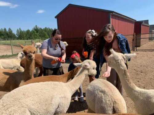Alpaca Tour Feeding Time