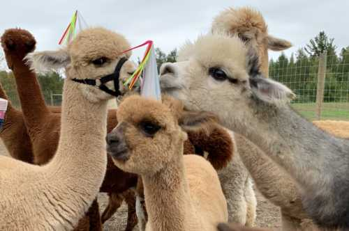 Alpaca and Party Hats