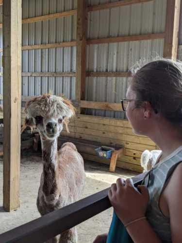 Barn Chats With Alpaca Attie