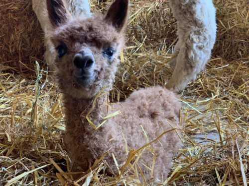 Cria Cuteness and Alpaca Smiles