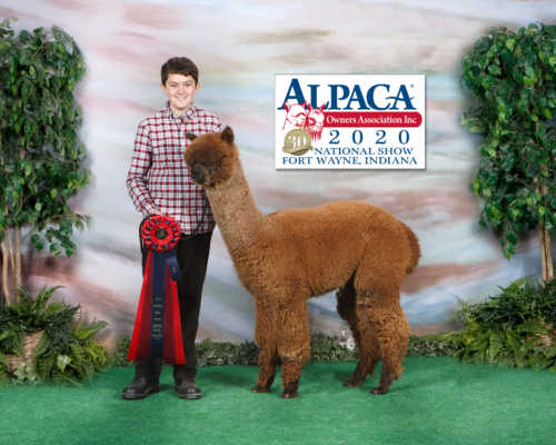 Daredevil Second Place National Alpaca Show 2020