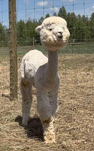 Dolly Alpaca Pose