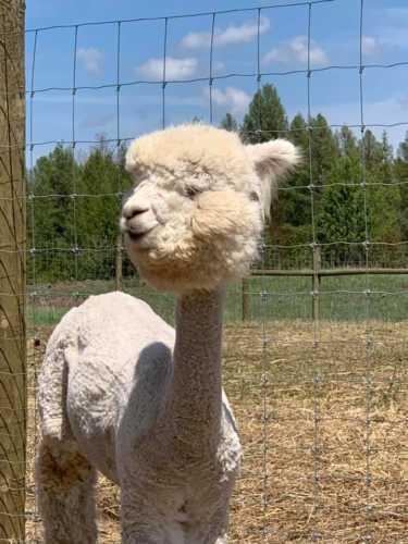 Dolly With Alpaca Bubble Cut