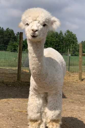 Dolly in Full Alpaca Stance