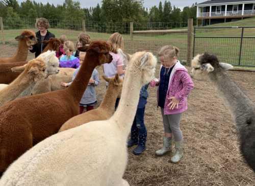 Girls Feeding the Alpacas