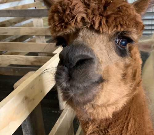 Kalista and Her Big Alpaca Eyes