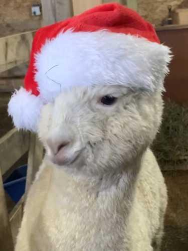 Little Levi Not Loving His Christmas Hat