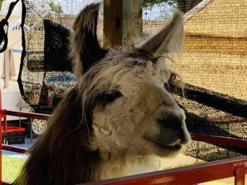 Nash the Llama