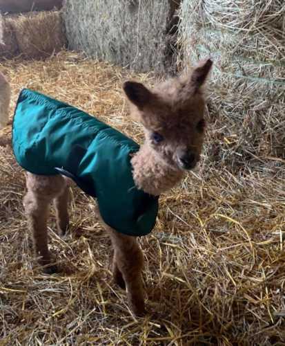 Teddy in His Cria Coat